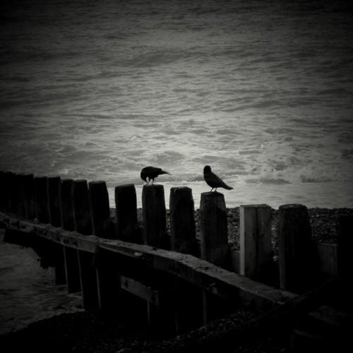 sea_crows_by_lostknightkg