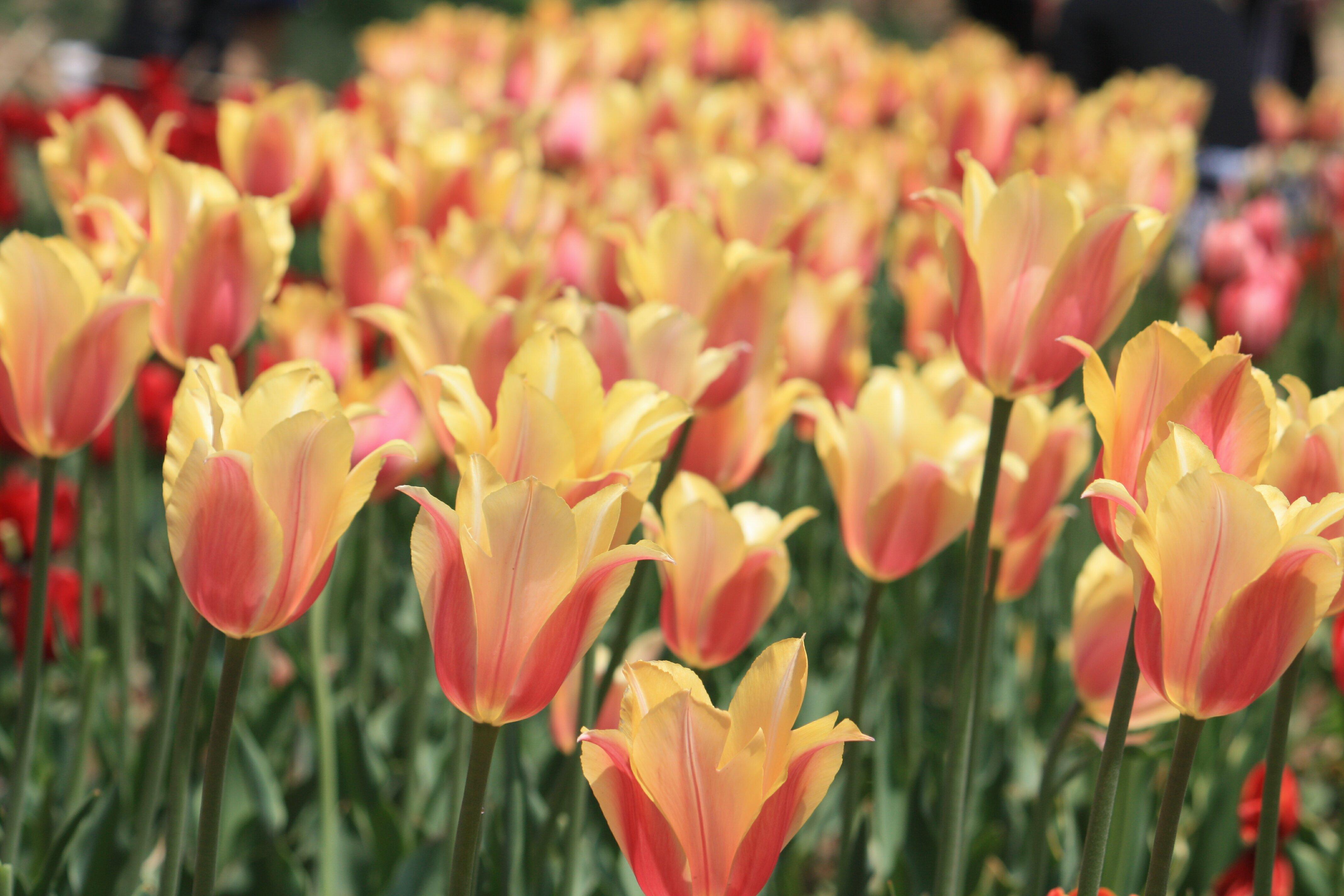 青岛中山公园的郁金香