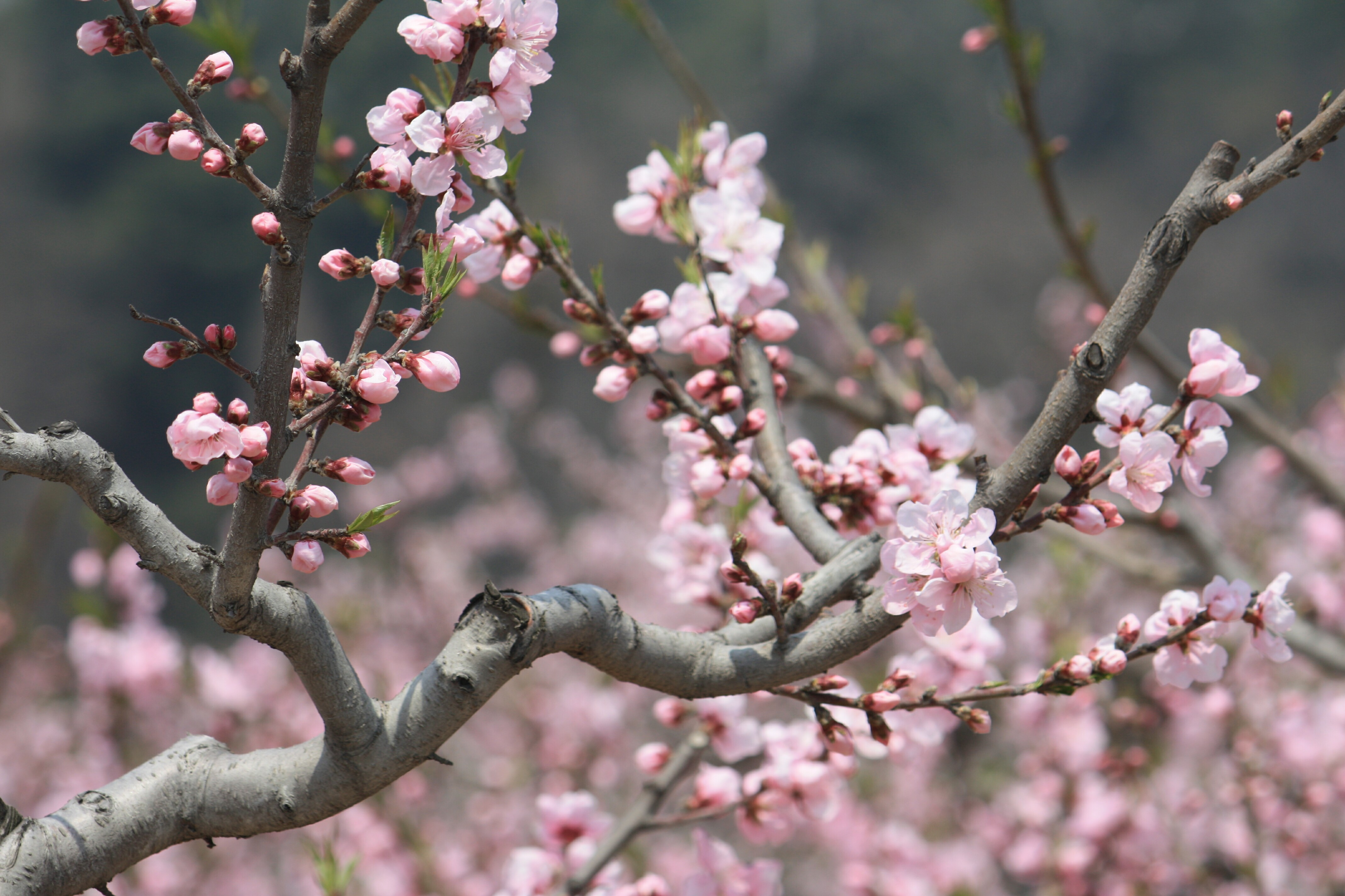 青岛中山公园的桃花源