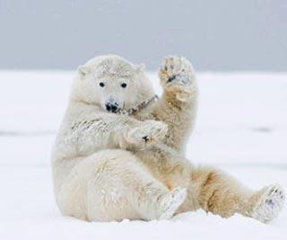 北极熊招手