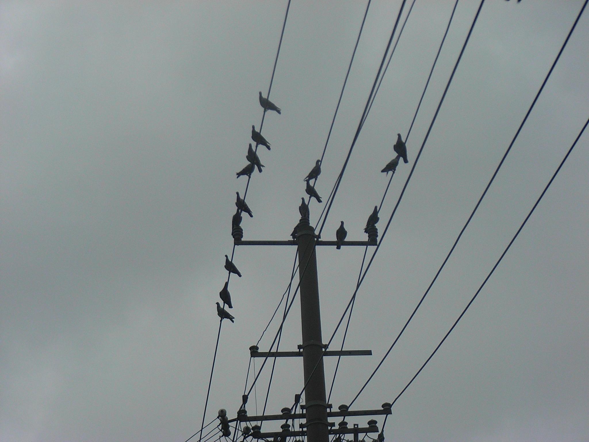 会文路 电线杆&鸟