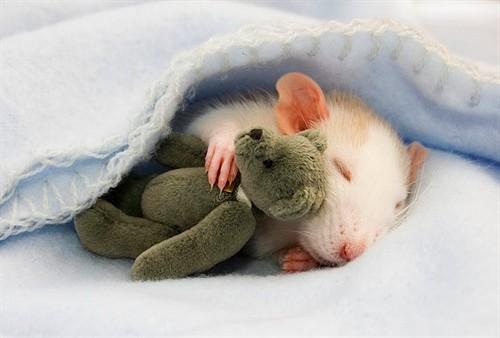 啊 有老鼠 非常可爱的小老鼠