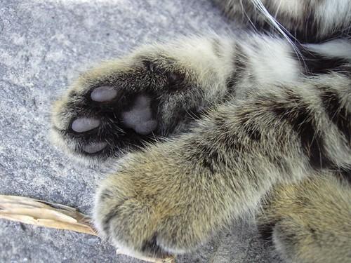 毛茸茸的猫爪壁纸