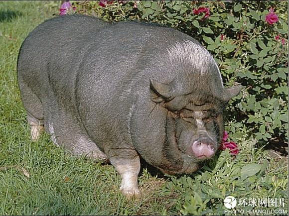 世界十大最胖动物3