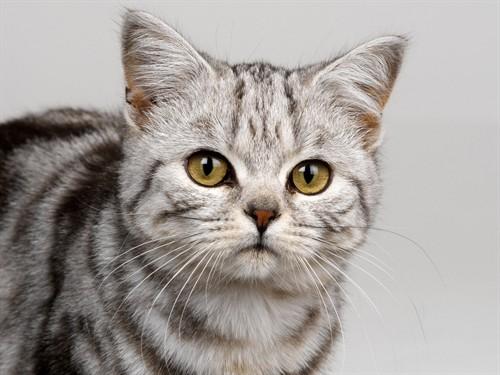 壁纸 动物 猫 猫咪 小猫 桌面 500_375