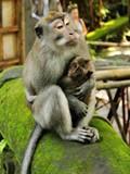 母子(UBUD圣猴公园)