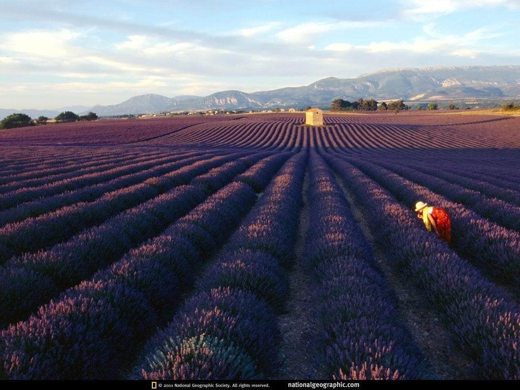 法国普罗旺斯薰衣草