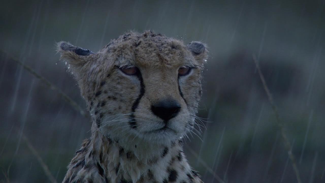 [迪士尼自然:非洲猫科.勇气王国].disneynature.c