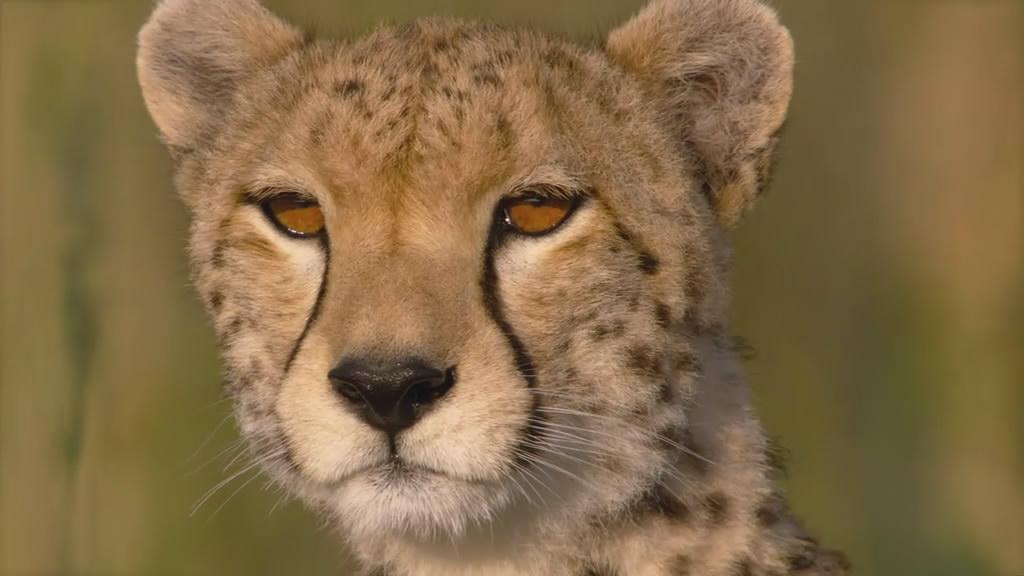 非洲大猫传奇 – mtime时光网