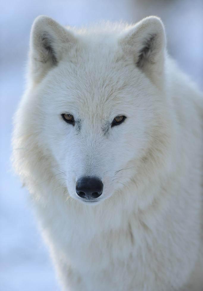 可以是白色的北极狼