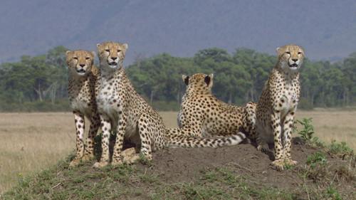 将小家伙抚养成健壮的成年猎豹