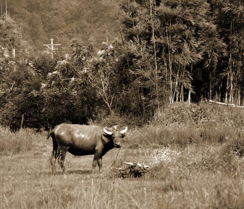 一只可爱的水牛好奇地望着俺……摄于广东新丰县东源锡场镇杨梅村